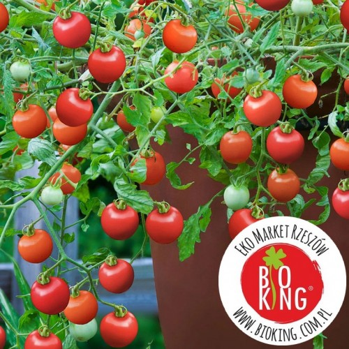 Pomidor doniczkowy Tumbling Tom Red - rozsada
