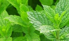 Herbata z mięty - właściwości, działanie, zastosowanie